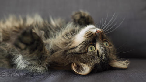 Cute tabby domestic cat lies on its back and watches the... Stock Video Footage