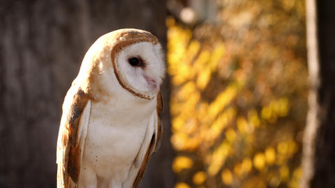 Close-up of a Barn Owl Archivo