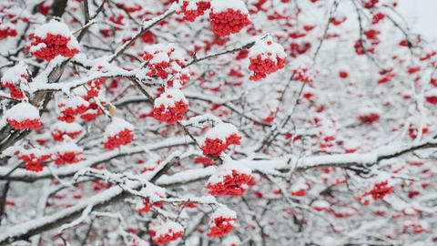 Snow covered trees and branches with red berry in a city park. Snowy trees in Live Action