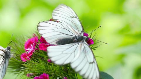 Black veined white butterfly Archivo
