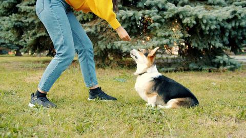 Low shot of woman playing with corgi dog outdoors giving animal food Archivo