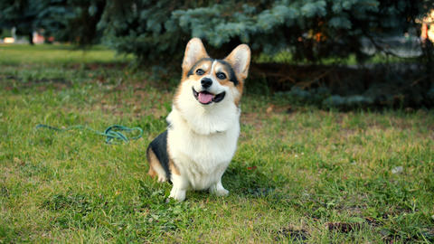 Portrait of cute corgi dog sitting on green grass in urban park enjoying fresh Footage