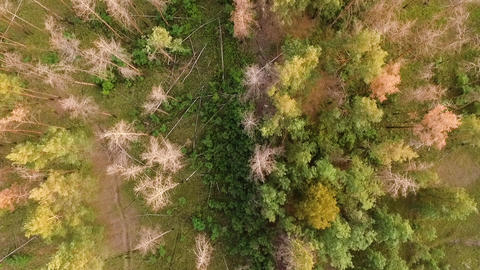 Dry forest disease trees bird eye view aerial on sunset Live Action