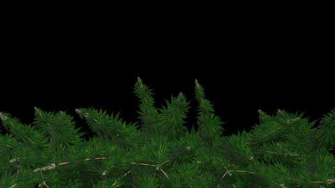 Frame Marijuana Bush Animation