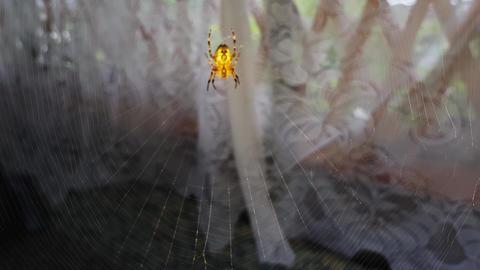 Batik golden web spider hanging in big web swaying in the wind,slow motion 4k Live Action