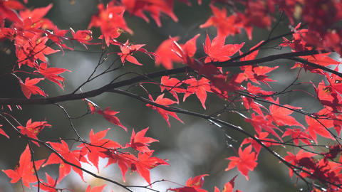 秋の紅葉したモミジ ライブ動画