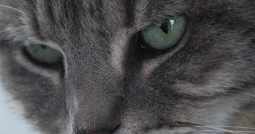 Brown Tabby Domestic Cat, Close-up of Eyes, Real Time 4K Live Action