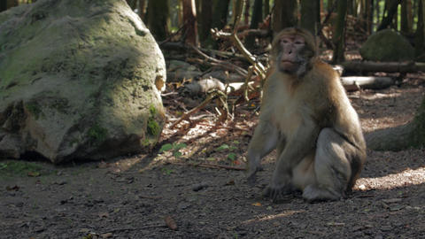 Aggressive Monkey In The Forest Live Action