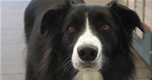 Border Collie Dog, Portrait of male, Close up of the Nose, Real Time 4K Footage