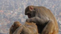 Monkeys picking fleas on hilltop,Kathmandu,Swayambhunath,Nepal Footage