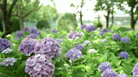 Purple hydrangea in Sagamihara park, color grade, in Japan - 紫のアジサイ  Footage