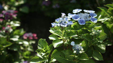 blue hydrangea in day light, color grade, in Japan - 青のアジサイ 日本  Footage