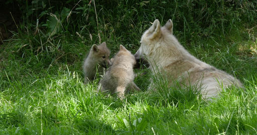 Arctic Wolf, canis lupus tundrarum, Mother playing with Cub, Real Time 4K Live Action