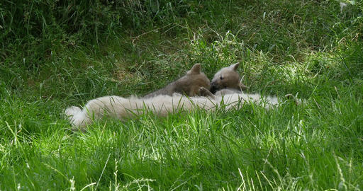 Arctic Wolf, canis lupus tundrarum, Mother and Cub, Real Time 4K Live Action