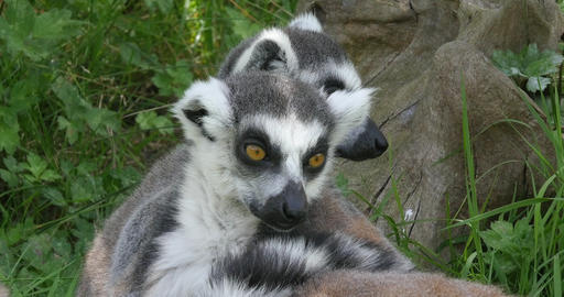 Ring Tailed Lemur, lemur catta. Portrait of Adults looking around, Real Time 4K Live Action