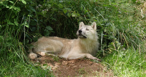 Arctic Wolf, canis lupus tundrarum, Female laying at Den Entrance, Real Time 4K Live Action