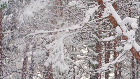 Heavy Snow storm blows snow on branches and trees in winter Live Action