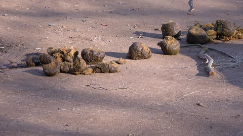 Many feces of elephant drop on ground Live Action