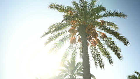 Green palm tree stands in sunny weather. The sun shines behind a palm tree. Sun Live Action