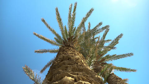 A green palm tree stands against the sky. View of a palm tree from below a tree Live Action