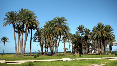 Glade of tall palm trees. The wind shakes the leaves of the trees. Palm trees on Live Action
