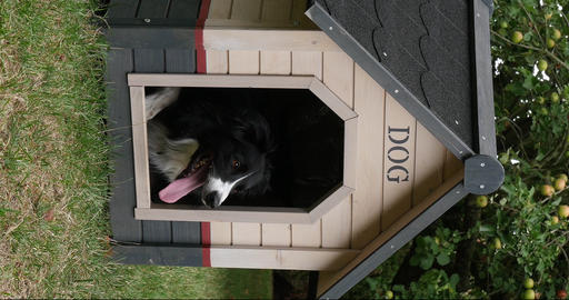 Border Collie Dog in its Dog House, male, Picardy in France, vertical video, Real Time 4K Live Action