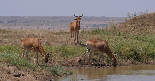 Hartebeest, alcelaphus buselaphus, Herd standing at Waterhole, Nairobi Park in Kenya, Real Time 4K Live Action