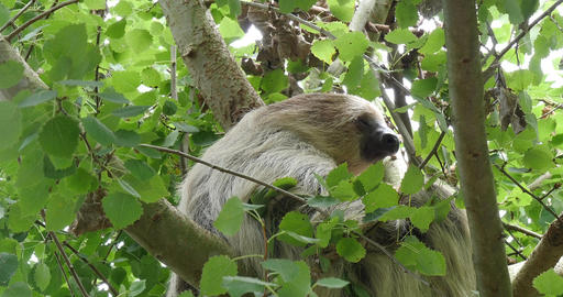 Two Toed Sloth, choloepus didactylus, Adult Hanging from Branch, Moving, Real Time 4K Live Action