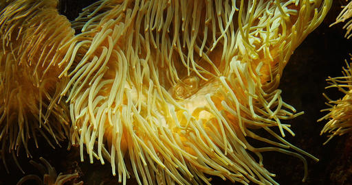 Leathery Sea Anemone, heteractis crispa, real time 4K Live Action