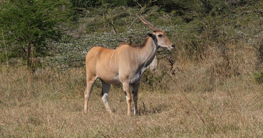 Cape Eland, taurotragus oryx, adult in the savannah, Nairobi Park in Kenya Real Time 4K Live Action