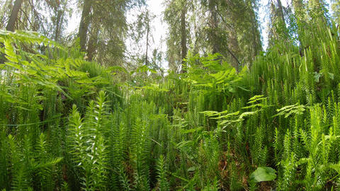 Club moss and fern on forest ground Live Action