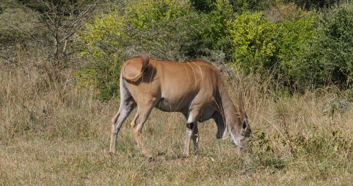 Cape Eland, taurotragus oryx, adult in the savannah, Nairobi Park in Kenya Real Time 4K Live Action