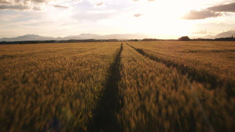 Handheld gimbal - Running through the wheat field at beautiful sunset Footage