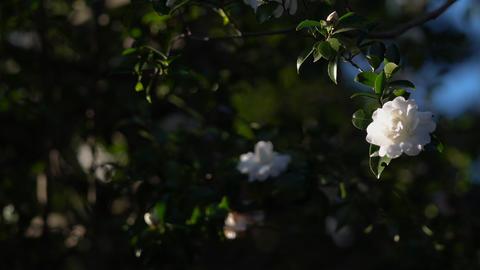白い花のアップ ライブ動画