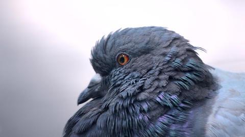 Pigeon head close-up. Dove head close. Ornithology bird lore Live Action