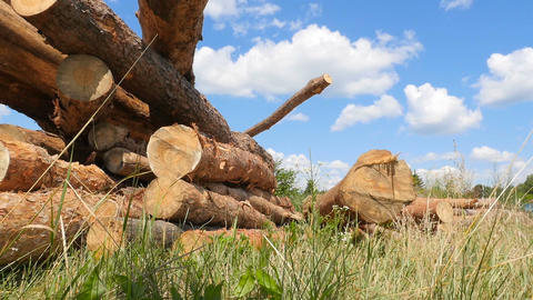 A lot of pine logs. Large deforestation. The raw material lies on the green Live Action