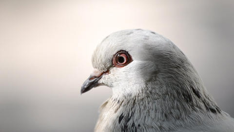 Pigeon head close-up. Dove head close. Ornithology bird lore Live Action