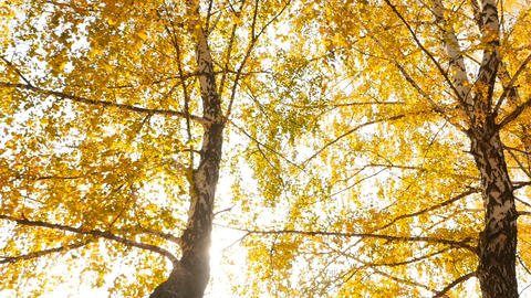 The bright rays of the sun shine through the yellow leaves of birches. Slow Live Action