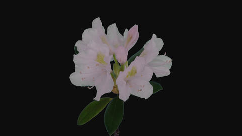 Time-lapse of opening white rhododendron branch with ALPHA channel ライブ動画