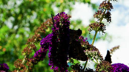 Butterflies on a Butterfly Bush Buddleja Footage