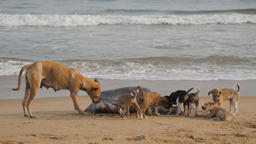 Dog with pups eating from washed up giant turtle,Puri,India Footage