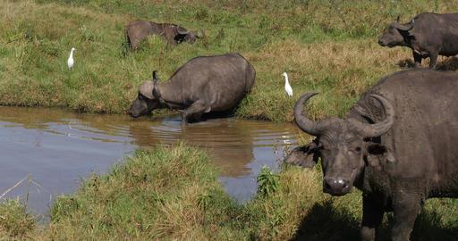 African Buffalo, syncerus caffer, Group at Waterhole, Nairobi Park in Kenya, Real Time 4K Live Action