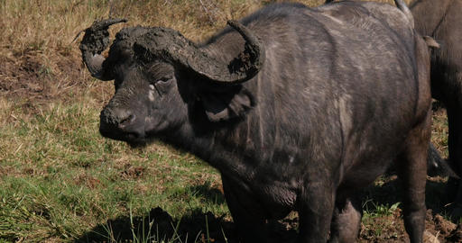 African Buffalo, syncerus caffer, Horns with Mud, Nairobi Park in Kenya, Real Time 4K Live Action