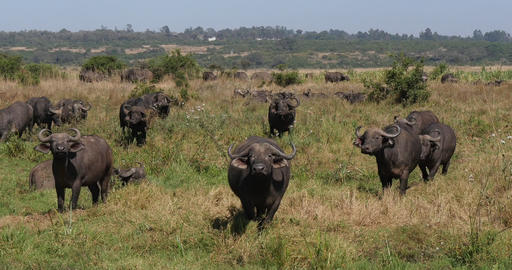 African Buffalo, syncerus caffer, Herd in Savannah, Nairobi Park in Kenya, Real Time 4K Live Action