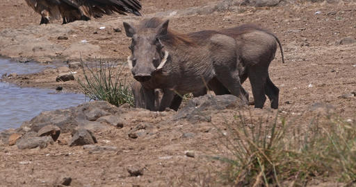 Warthog, phacochoerus aethiopicus, Adult drinking Water at Water Hole, Nairobi Park in Kenya, real Live Action