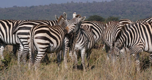 Grant's Zebra, equus burchelli boehmi, Herd at Nairobi Park in Kenya, Grooming, Real Time 4K Live Action