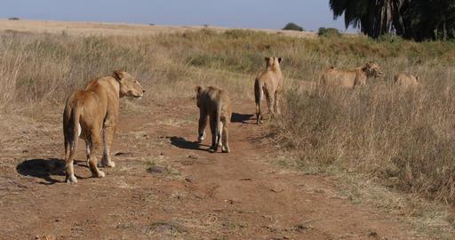African Lion, panthera leo, Group in Savannah, Nairobi... Stock Video Footage