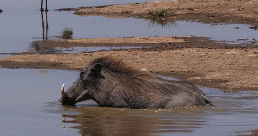 Warthog, phacochoerus aethiopicus, Adult having Bath, Nairobi Park in Kenya, real Time 4K Live Action