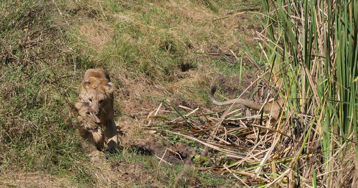African Lion, panthera leo, Group in Savannah, Nairobi... Stock Video Footage
