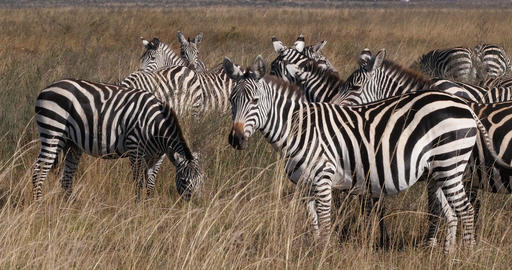 Grant's Zebra, equus burchelli boehmi, Herd at Nairobi Park in Kenya, Real Time 4K Live Action